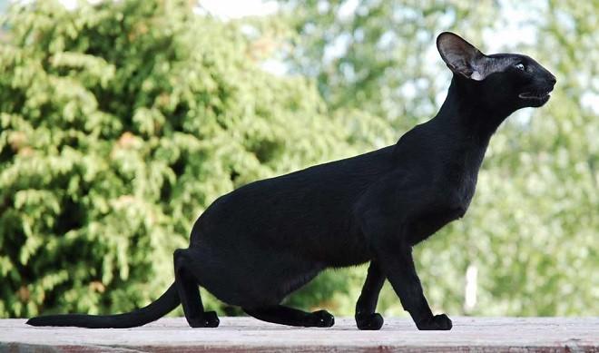 Черная египетская кошка