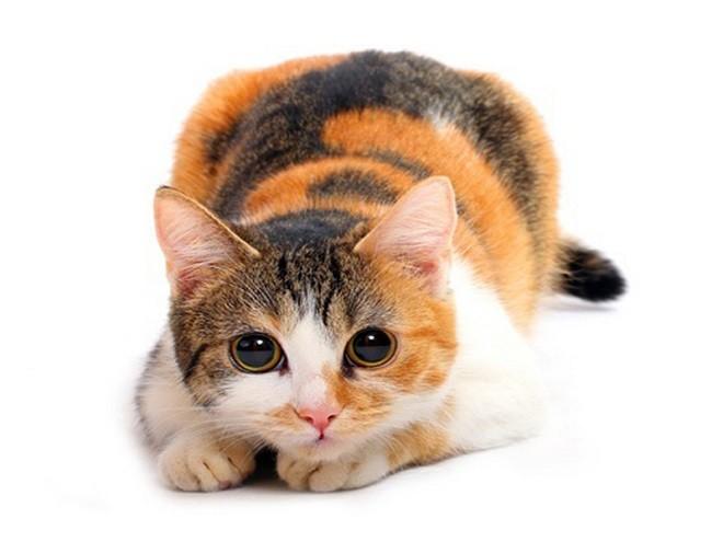 Окрас Калико трехцветной кошки