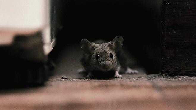 Маленькая мышка на полу
