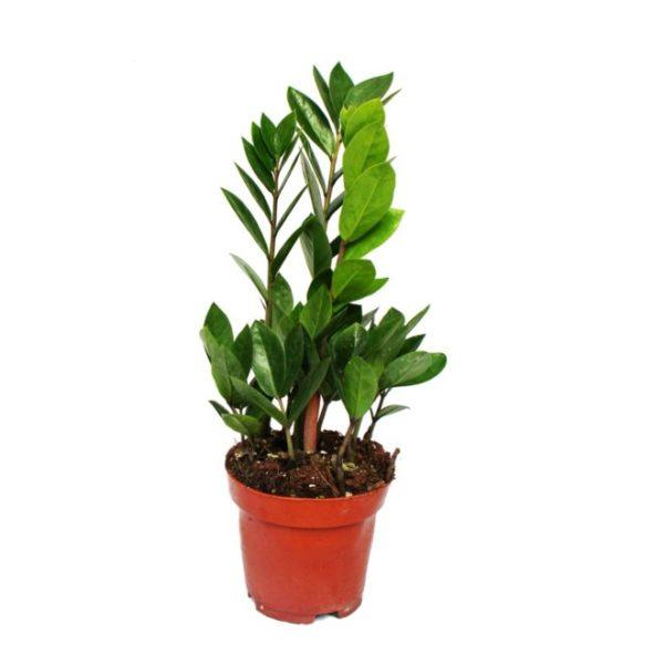 Замиокулькас растение