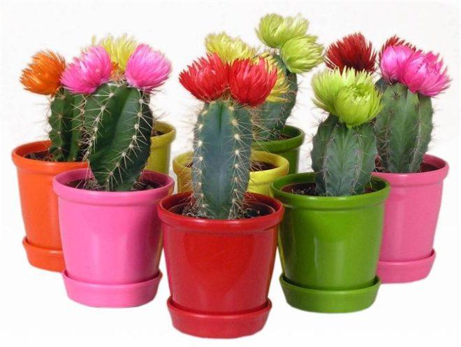 яркие кактусы