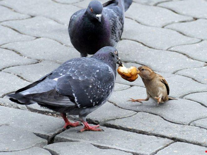 голуби и воробей