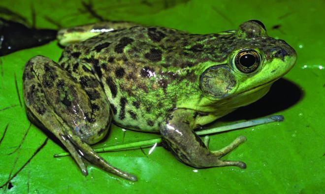 зеленая лягушка